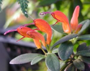 Eschinantas-Aeschynanthus-hildebrandii