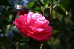 kamelija- geles-ziedas