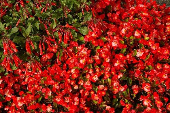 krumine begonija coral-fuchsia