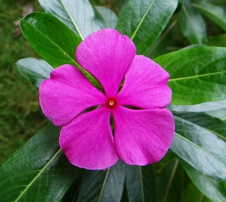 periwinkle-catharanthus-roseus-dharwad-india-flower