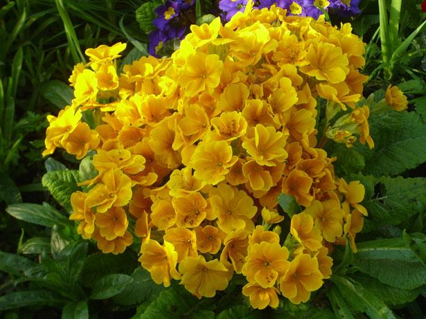 primula raktazole geltonais ziedais