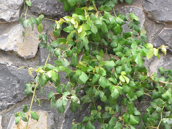 Cissus_rhombifolia
