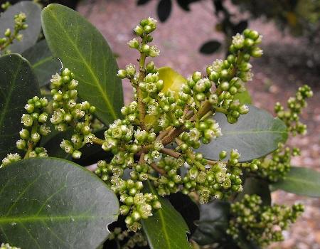 Corynocarpus_laevigata