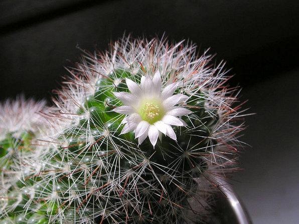 Mammillaria kaktusas