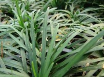 Ophiopogon-japonicus-ilgalape-gyvatbarzde