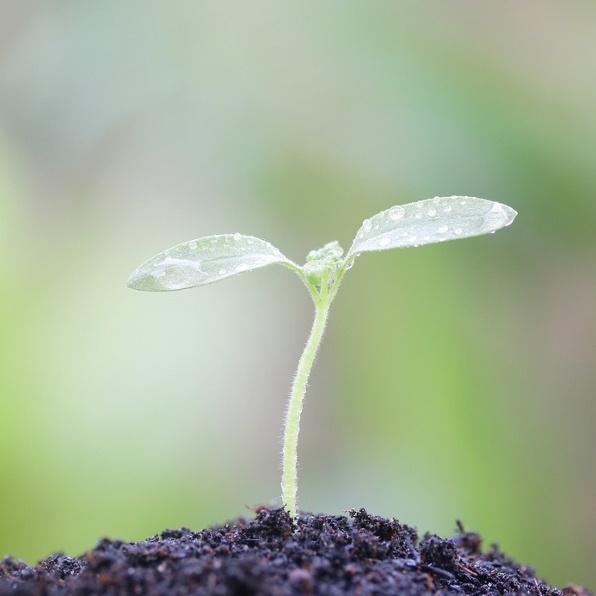 augalo daigas zeme