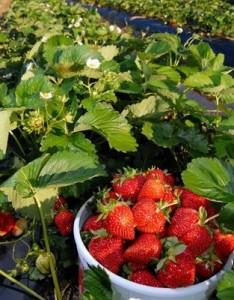 Braškių auginimo sąlygos