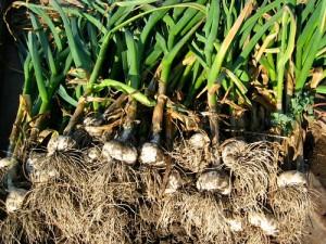 cesnaku sodinimas