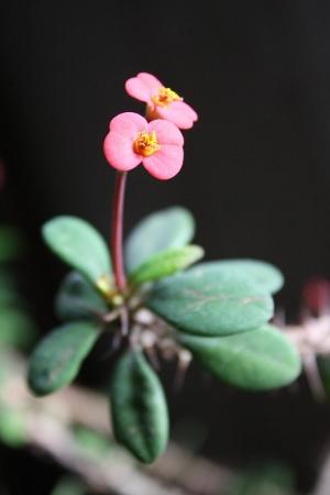 euphorbia-milii-karpazole-dygliuotoji-ziedas