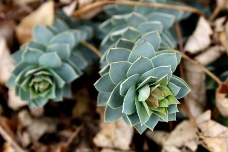 euphorbia-myrsinites-karpazole