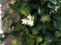 madagascar-jasmin-stephanotis