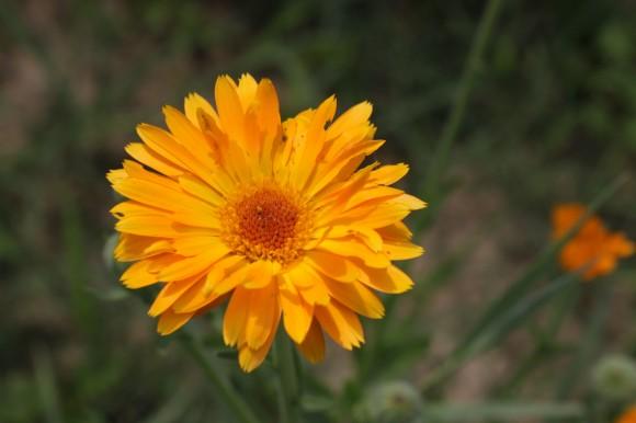 Calendula-officinalis__ vaistine-medetka