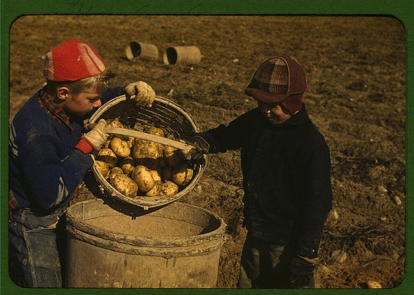 bulviu derlius krepsys