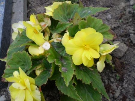 gumbine-begonija-geltoni-ziedai