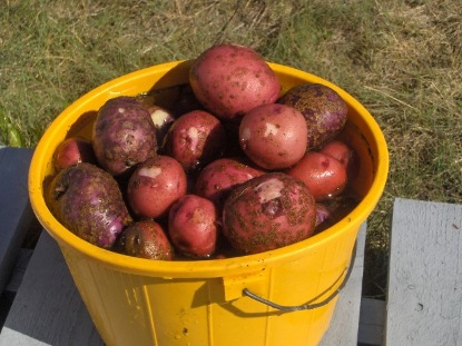 ankstyvosios bulves derlius