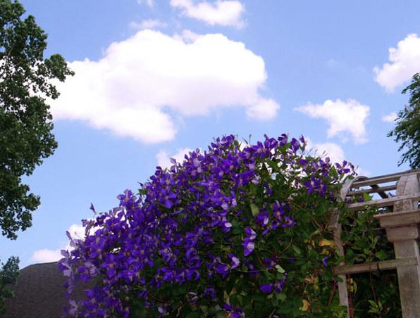 clematis-violetine-ragane-tvoros-apzeldinimas