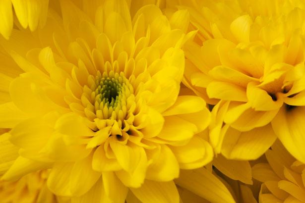 chrizantemos ziedas geltonas