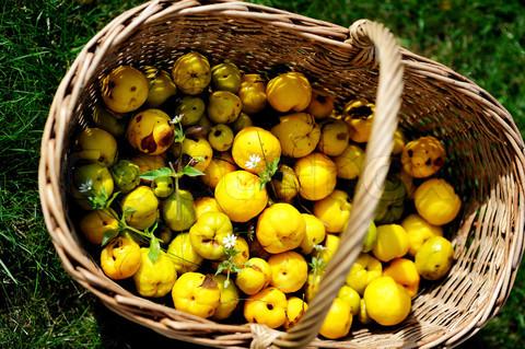 svarainio vaisiai