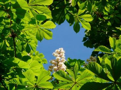 kastono ziedai lapai dangus