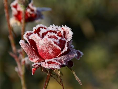 roziu laikymas ziema
