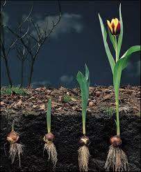 tulpiu sodinimas