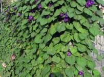 zeldiniai-tvora-Ipomoea purpurea