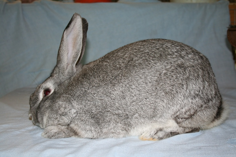 Giant Chinchilla Rabbit Triušis Šinšilas | ...