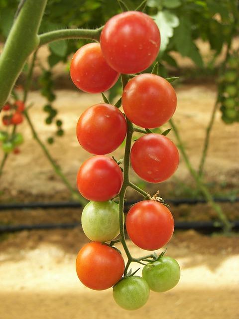 pomidorai siltnamyje